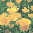 CALIFORNIA POPPY RARE SMOKING HERBS AND EXOTIC HERBAL SMOKE